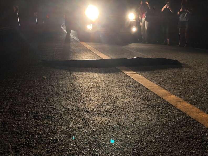Huge python crossing road