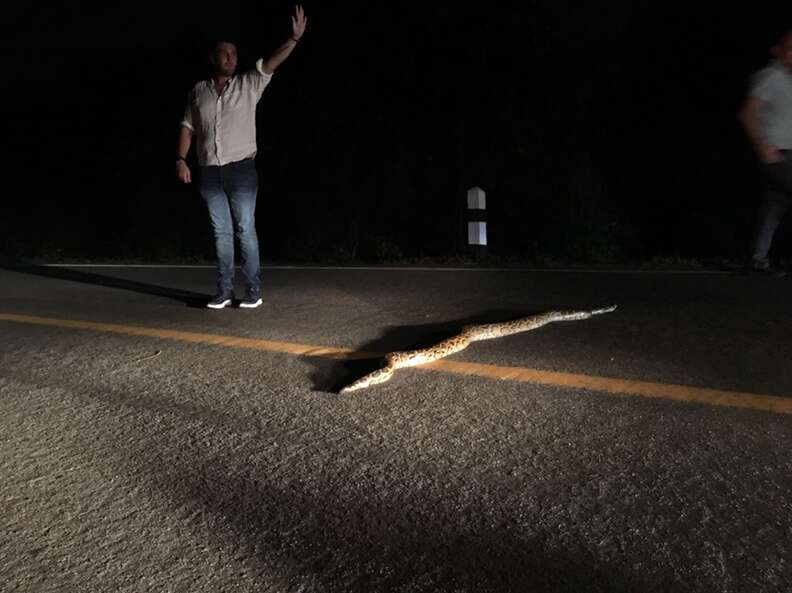 Man stopping traffic to help python cross the road
