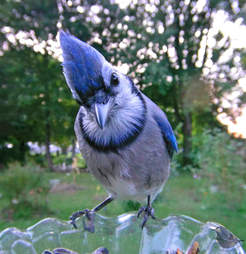 Bluebird captured on backyard feeder cam