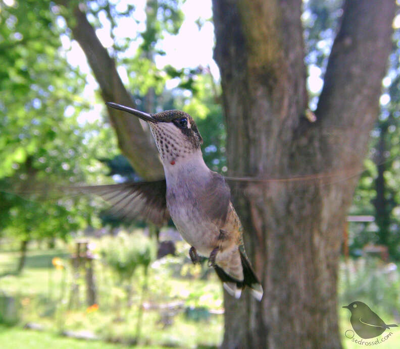 Hummingbird visits Michigan backyard