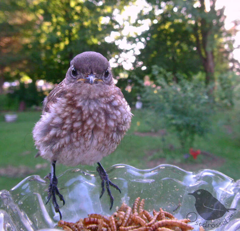 A grumpy baby bluebird visits the feeder
