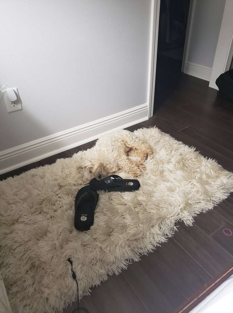 dog hides on rug