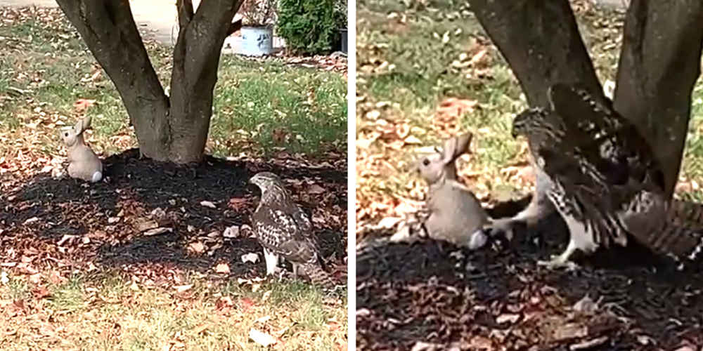 Hawk Can't Understand Why This Little 'Bunny' Isn't Scared Of Him