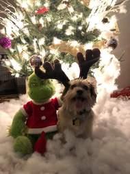 Simba the dog and his Grinch toy on Christmas
