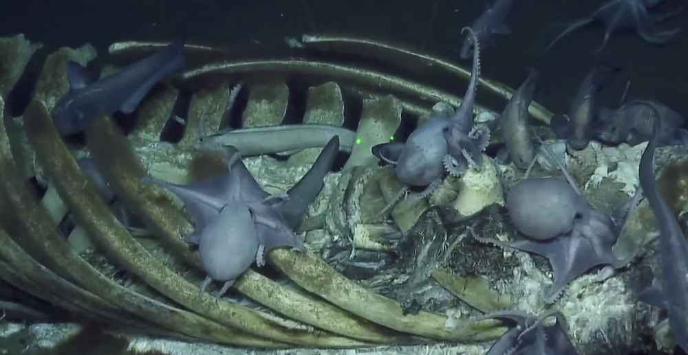 Scientists Found More Than a Dozen Octopuses Devouring a Whale & Everyone Was Excited