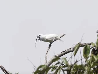 loudest bird