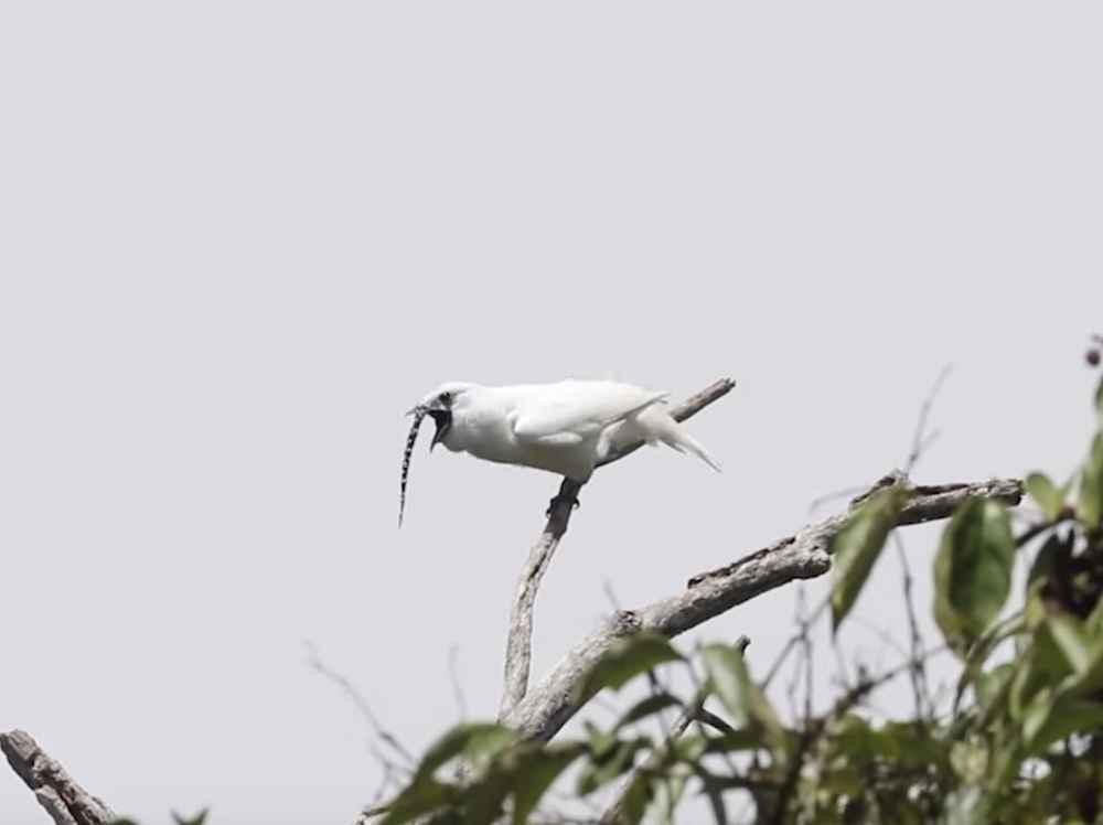 'World's Loudest Bird' Doesn't Sound Like A Bird At All