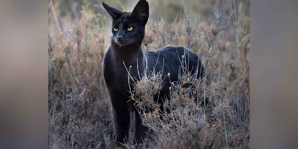 Photographer Crosses Paths With A Black Cat Unlike Any He's Seen Before