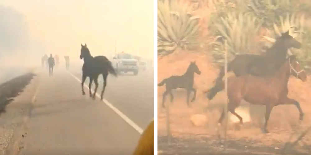 Horse Runs Toward Danger To Rescue Friends Trapped By Wildfire