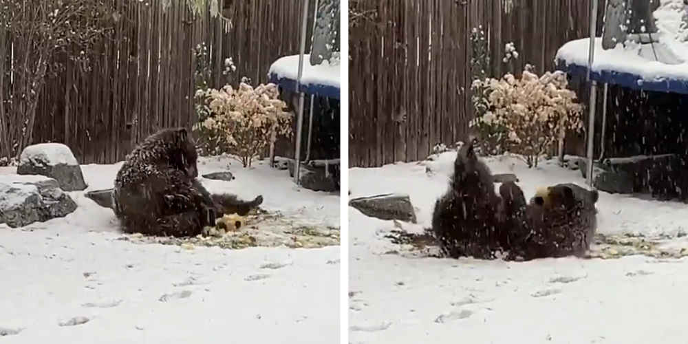 Bear In Backyard Has A Blast Playing With This Ball He Found