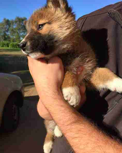People discover that puppy is actually a pure alpine dingo