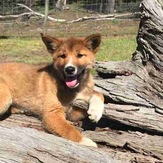 Wandi the alpine dingo at a sanctuary