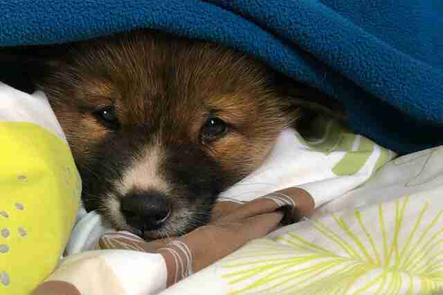 People find baby dingo in their backyard