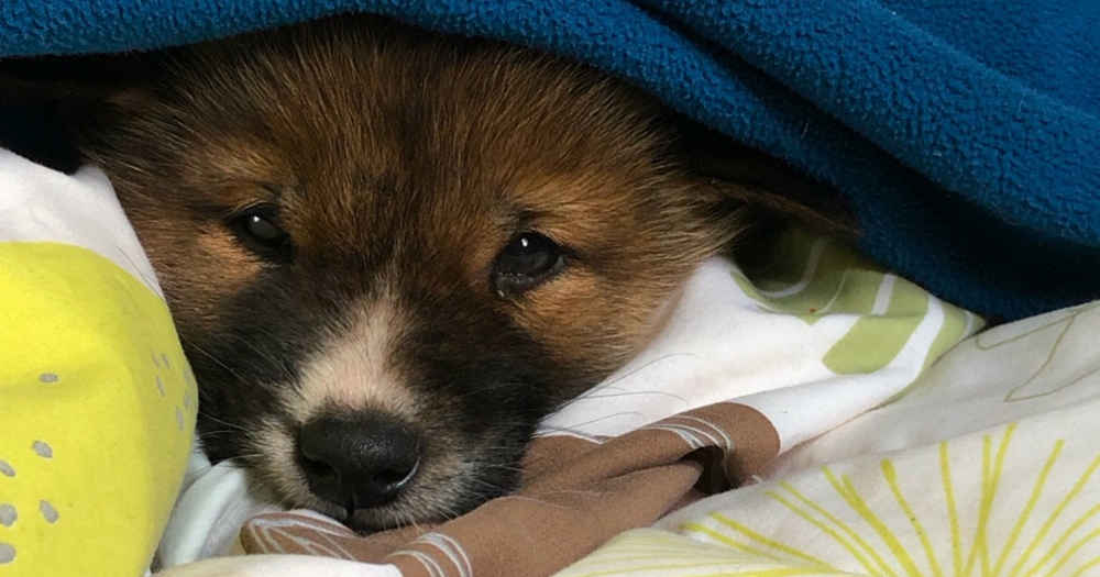 Adorable Rescue 'Puppy' Turns Out To Be Wild Dingo