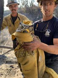 Firefighters save a great horned owl from the Maria Fire