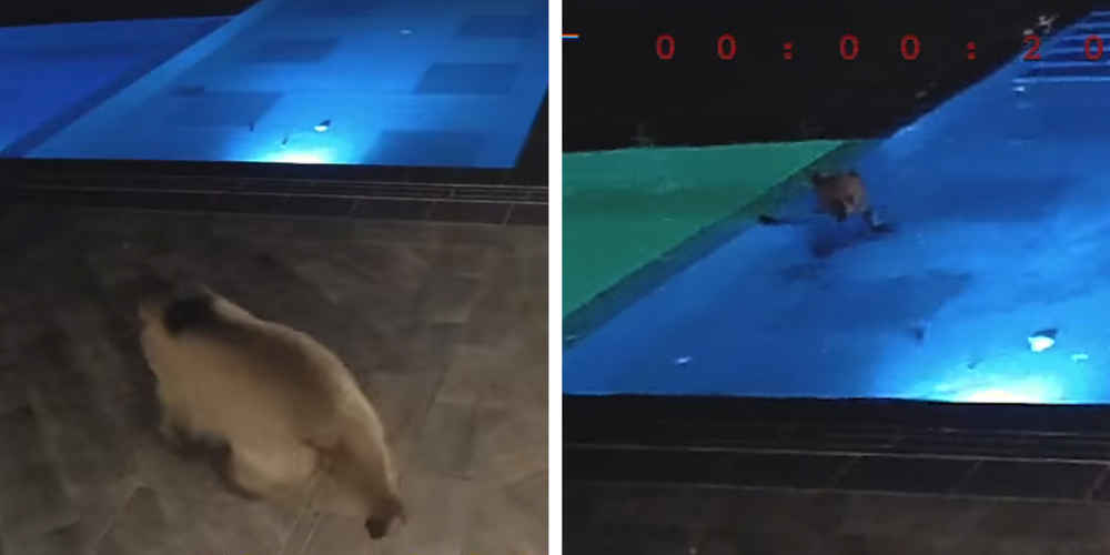 Rec Club Gives Free 'Membership' To Wild Bear Who Likes To Swim There