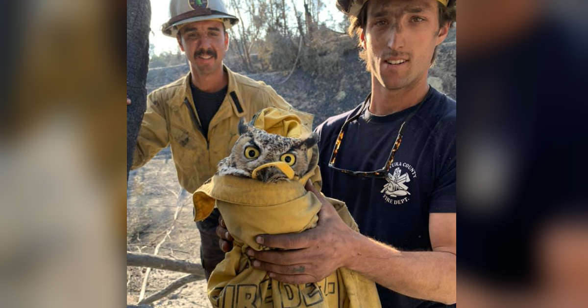 Kind Firefighters Save Great Horned Owl From California Wildfire