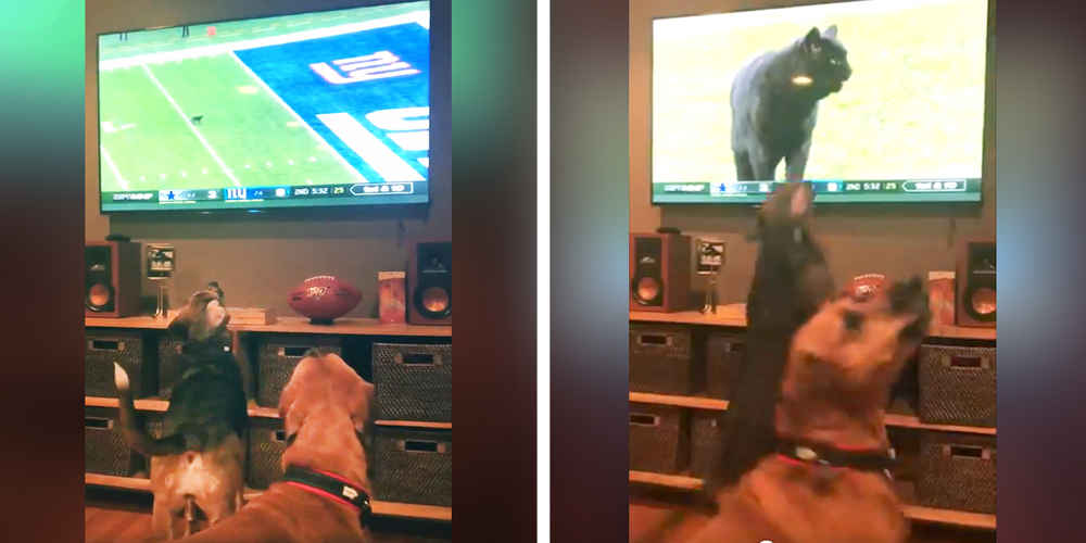 Dogs Take Sudden Interest In Football When A Cat Storms The Field