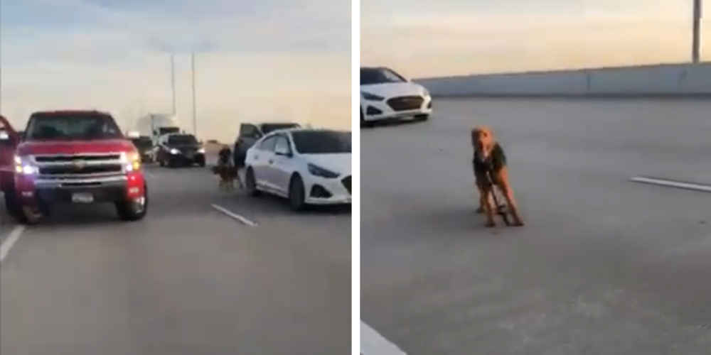People Pull Together To Save A Frightened Dog Loose On Highway
