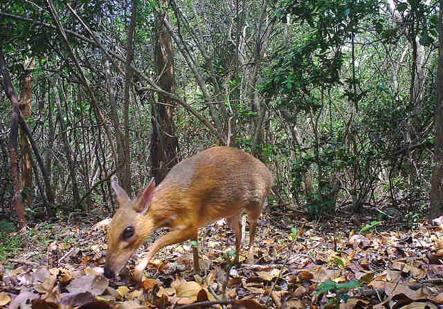The lost silver-backed Chevrotain in Vietnam