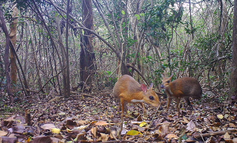 Two rediscovered silver-backed chevrotain