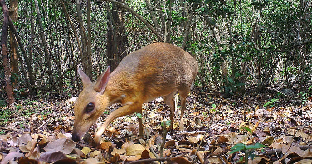 This Tiny 'Deer' Is The Size Of A Rabbit