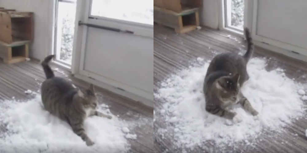 Family Brings Snow Inside So Obsessed Indoor Cat Can Play In It