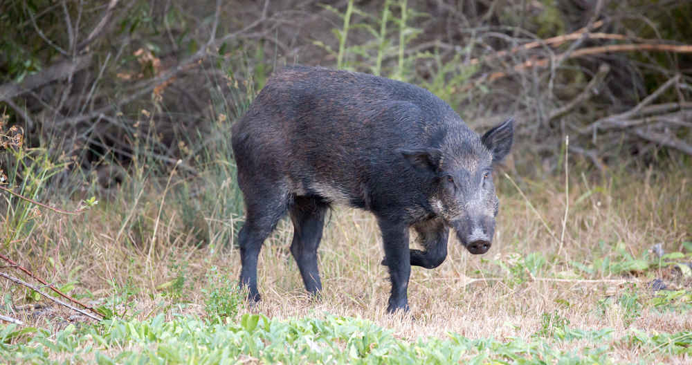 Feral Hogs Destroy $22,000 Cocaine Stash, Help Bring Down Drug Ring