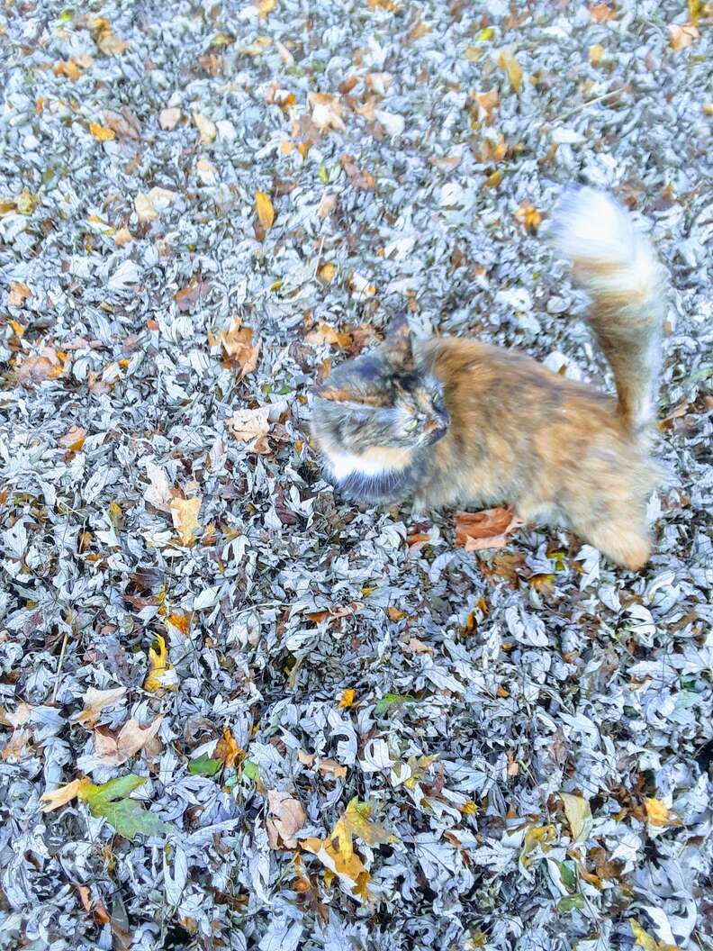 Lion the cat strolls through the leaves