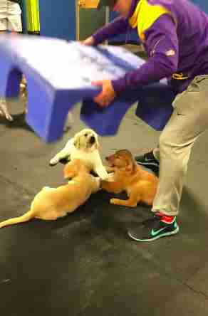 Golden retriever puppies caught holding hands