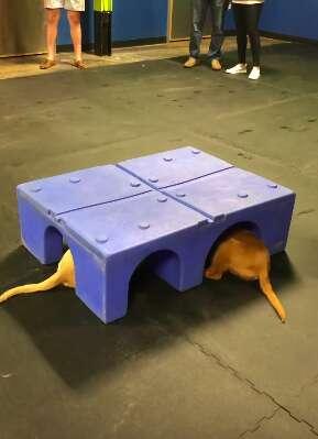 Golden retriever puppies hiding