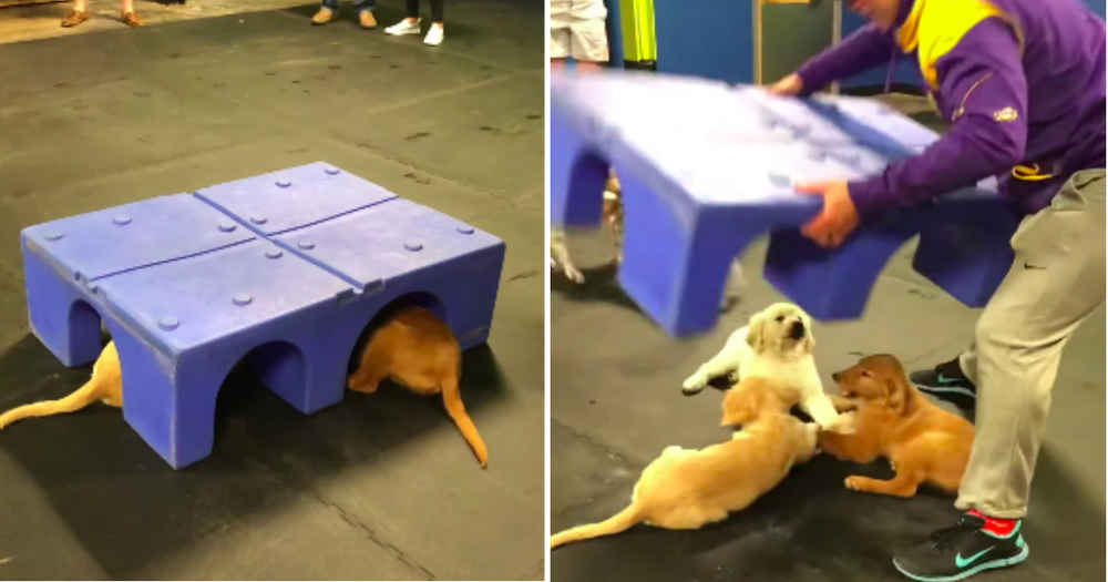 Golden Retriever Puppies Found Secretly Holding Hands At Playtime