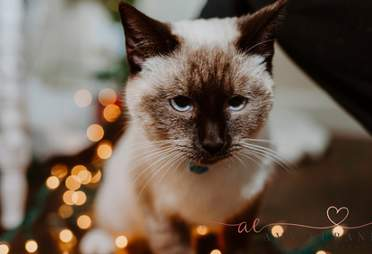 Violet the siamese cat found with a letter