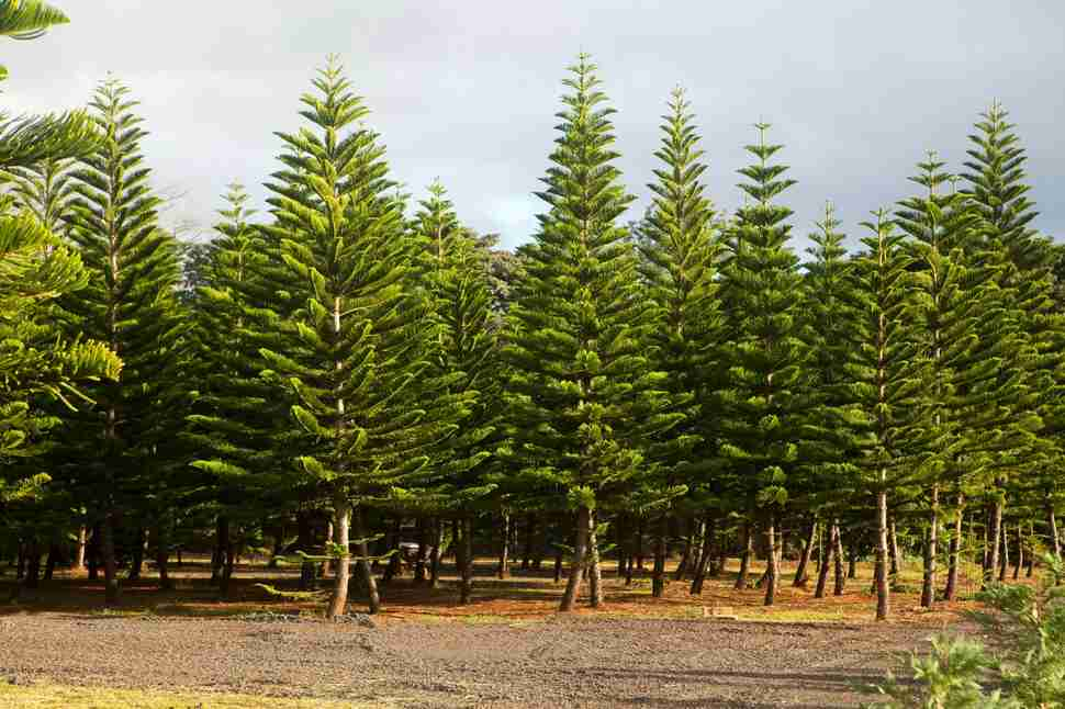 Helemano Farms - Oahu Christmas Tree Farm