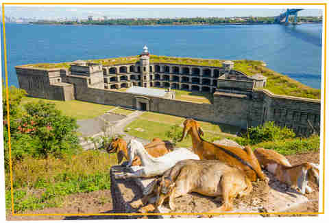 Goats in front of Fort Wadsworth