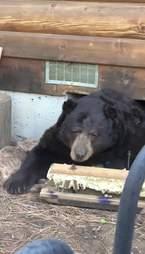 bear under house
