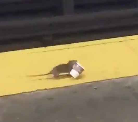 Video Shows Rat Walking on Subway Platform With Coffee Cup, Perhaps Listening to NPR
