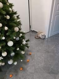 cat afraid of tangerines