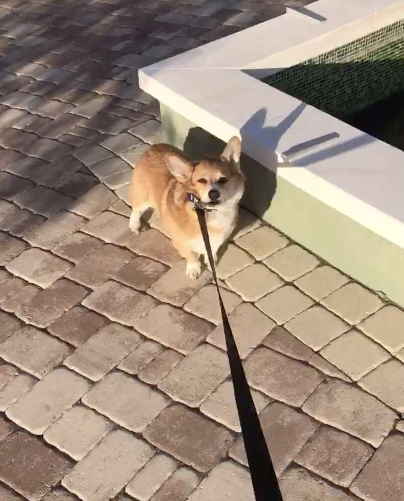 corgi refuses to leave park