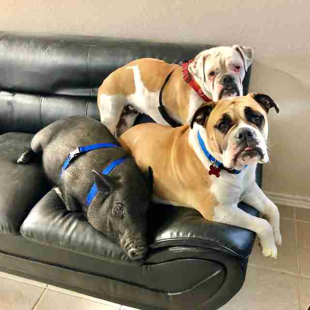 Carlton the pig snuggles his dog siblings