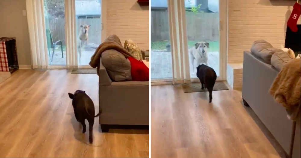 Dog And Pig Have A Playdate Together Every Single Week