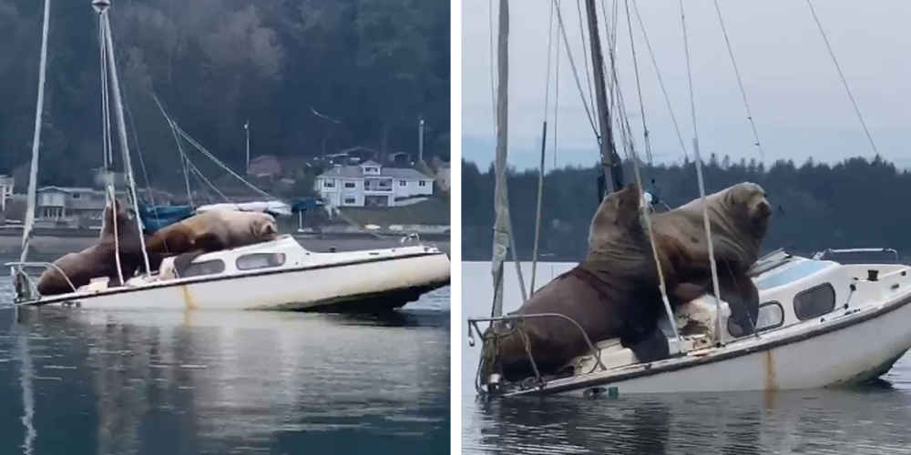 Pair Of Enormous Sea Lions Borrow Someone's Boat