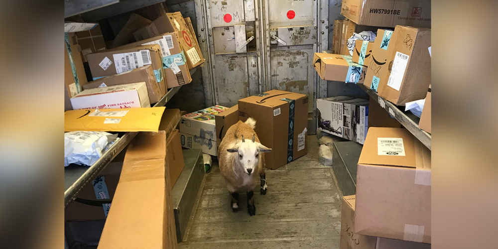 Friendly Goats Surprise UPS Driver During Holiday Rush