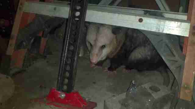 Hank the possum hangs out in a garage