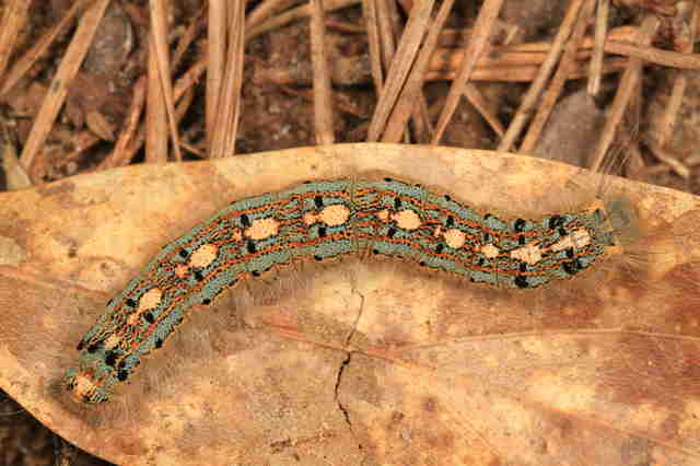 Forest tent caterpillar with penguins on its back