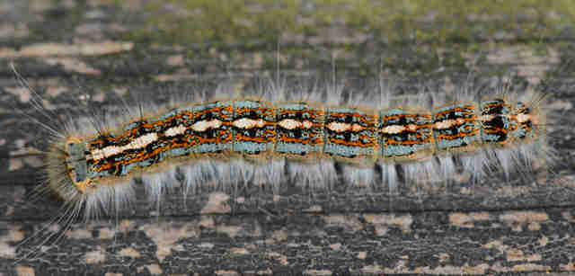 A forest tent caterpillar on a tree