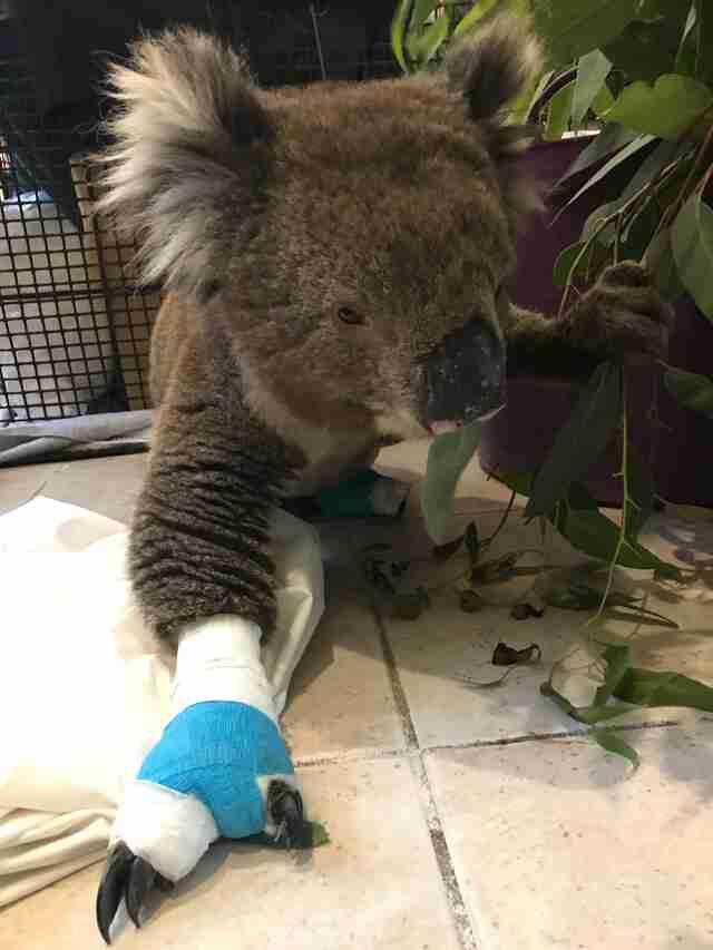 burned koala