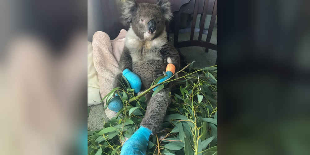 Koala Who Burned All 4 Paws In Fires Is So Happy To Finally Be Safe