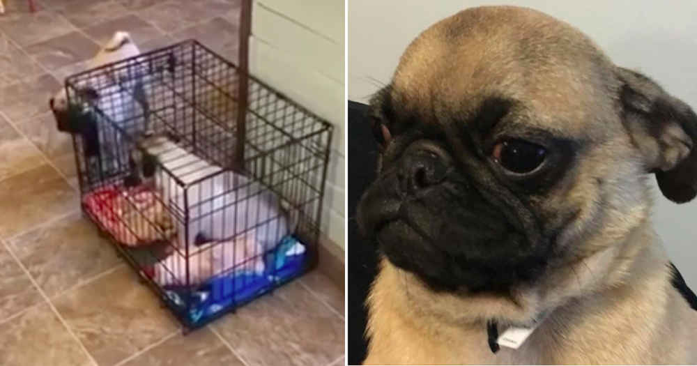 Naughty Pug Discovers How To Lock His Sister In Her Crate