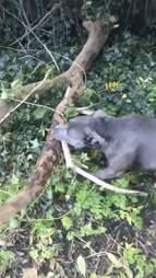 dog finds huge stick